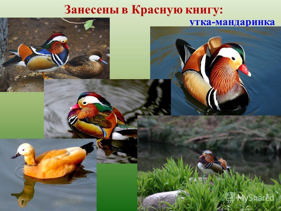 Занесены в Красную книгу: утка-мандаринка
