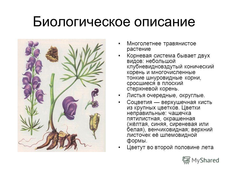 Биологическое описание Многолетнее травянистое растение Корневая система бывает двух видов: небольшой клубневидновздутый конический корень и многочисленные тонкие шнуровидные корни, сросшиеся в плоский стержневой корень. Листья очередные, округлые. С