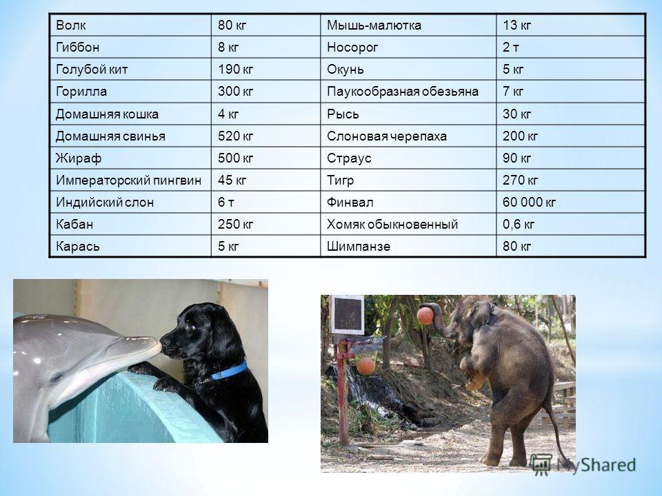 Волк80 кгМышь-малютка13 кг Гиббон8 кгНосорог2 т Голубой кит190 кгОкунь5 кг Горилла300 кгПаукообразная обезьяна7 кг Домашняя кошка4 кгРысь30 кг Домашняя свинья520 кгСлоновая черепаха200 кг Жираф500 кгСтраус90 кг Императорский пингвин45 кгТигр270 кг Ин
