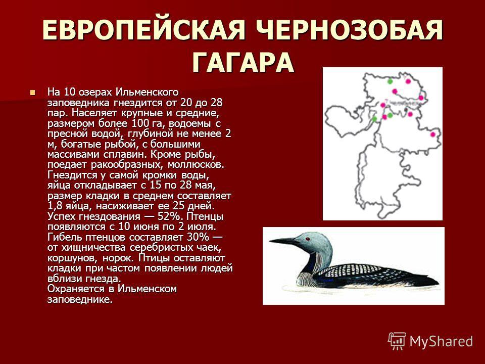 ЕВРОПЕЙСКАЯ ЧЕРНОЗОБАЯ ГАГАРА На 10 озерах Ильменского заповедника гнездится от 20 до 28 пар. Населяет крупные и средние, размером более 100 га, водоемы с пресной водой, глубиной не менее 2 м, богатые рыбой, с большими массивами сплавин. Кроме рыбы,