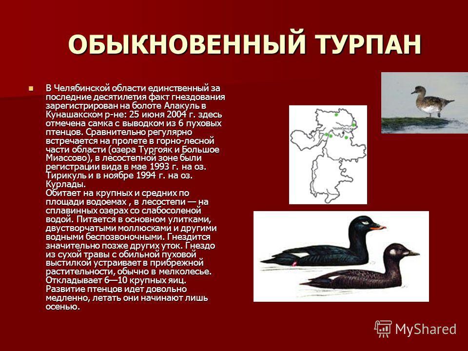 ОБЫКНОВЕННЫЙ ТУРПАН В Челябинской области единственный за последние десятилетия факт гнездования зарегистрирован на болоте Алакуль в Кунашакском р-не: 25 июня 2004 г. здесь отмечена самка с выводком из 6 пуховых птенцов. Сравнительно регулярно встреч