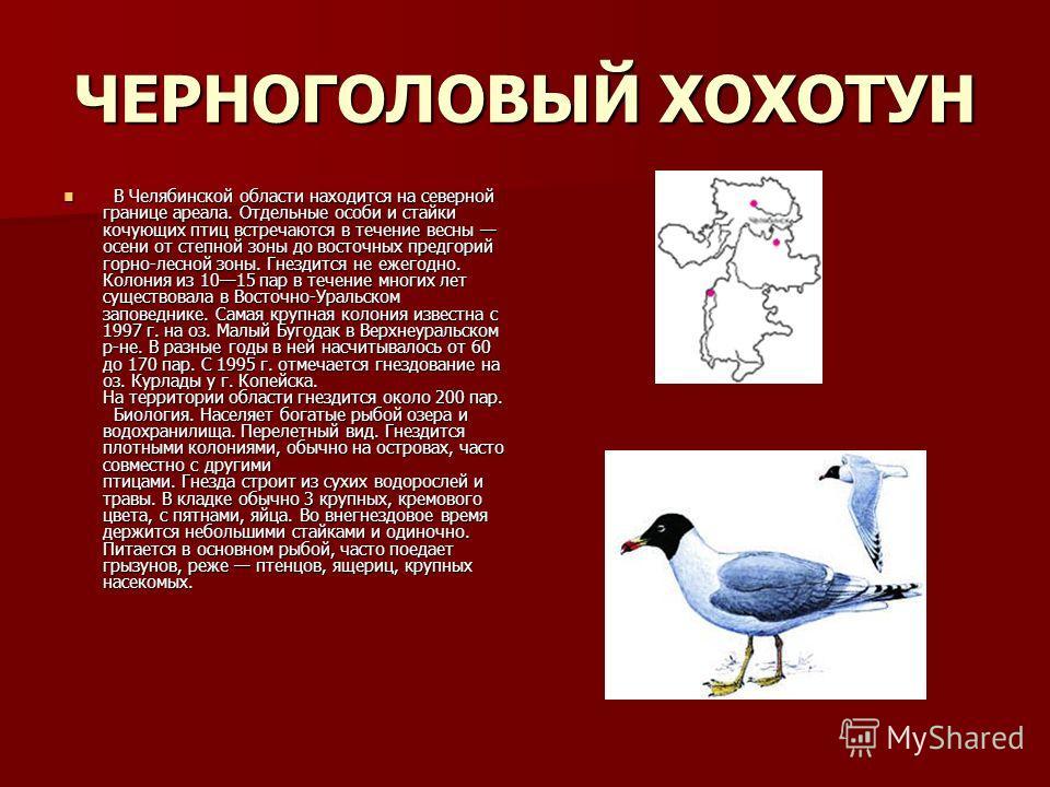 ЧЕРНОГОЛОВЫЙ ХОХОТУН В Челябинской области находится на северной границе ареала. Отдельные особи и стайки кочующих птиц встречаются в течение весны осени от степной зоны до восточных предгорий горно-лесной зоны. Гнездится не ежегодно. Колония из 1015