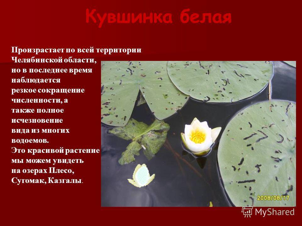 Кувшинка белая Произрастает по всей территории Челябинской области, но в последнее время наблюдается резкое сокращение численности, а также полное исчезновение вида из многих водоемов. Это красивой растение мы можем увидеть на озерах Плесо, Сугомак,