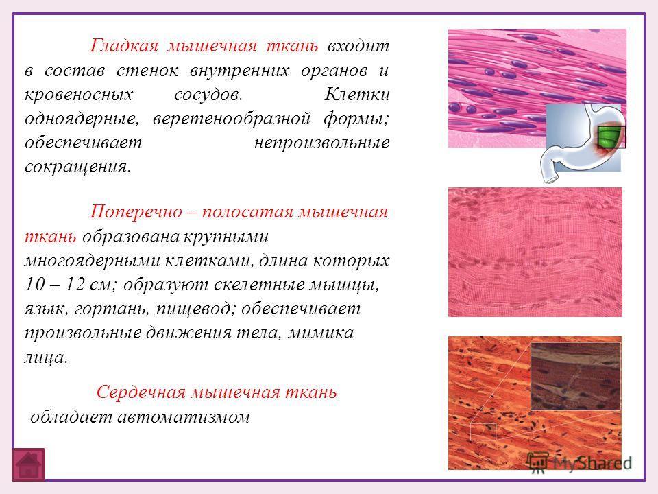 Гладкая мышечная ткань входит в состав стенок внутренних органов и кровеносных сосудов. Клетки одноядерные, веретенообразной формы; обеспечивает непроизвольные сокращения. Поперечно – полосатая мышечная ткань образована крупными многоядерными клеткам
