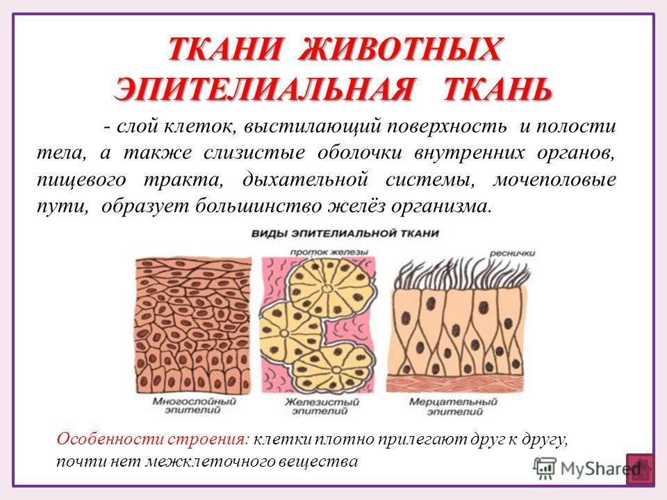 ТКАНИ ЖИВОТНЫХ ЭПИТЕЛИАЛЬНАЯ ТКАНЬ - слой клеток, выстилающий поверхность и полости тела, а также слизистые оболочки внутренних органов, пищевого тракта, дыхательной системы, мочеполовые пути, образует большинство желёз организма. Особенности строени