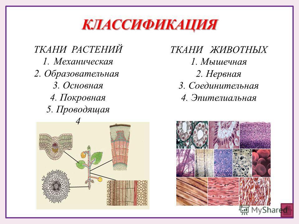 ТКАНИ РАСТЕНИЙ 1.Механическая 2. Образовательная 3. Основная 4. Покровная 5. Проводящая 4 ТКАНИ ЖИВОТНЫХ 1. Мышечная 2. Нервная 3. Соединительная 4. Эпителиальная