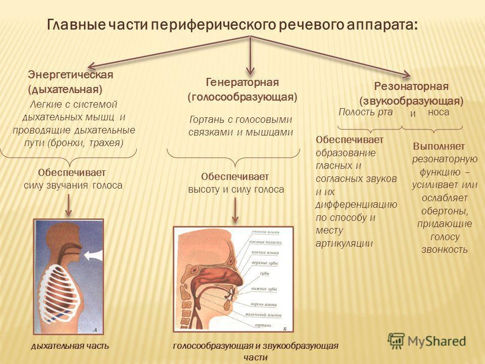Главные части периферического речевого аппарата: Выполняет резонаторную функцию – усиливает или ослабляет обертоны, придающие голосу звонкость Энергетическая (дыхательная) Резонаторная (звукообразующая) Легкие с системой дыхательных мышц и проводящие