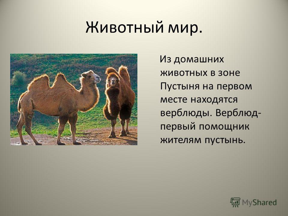 Животный мир. Из домашних животных в зоне Пустыня на первом месте находятся верблюды. Верблюд- первый помощник жителям пустынь.