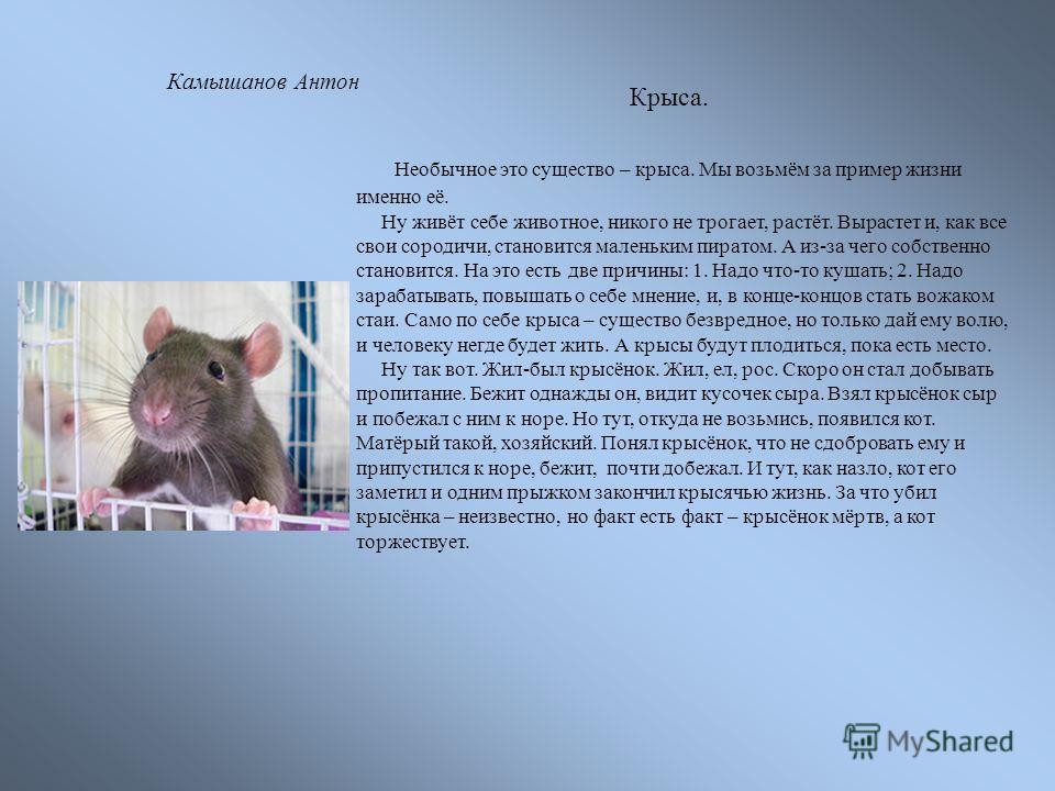 Крыса. Необычное это существо – крыса. Мы возьмём за пример жизни именно её. Ну живёт себе животное, никого не трогает, растёт. Вырастет и, как все свои сородичи, становится маленьким пиратом. А из-за чего собственно становится. На это есть две причи