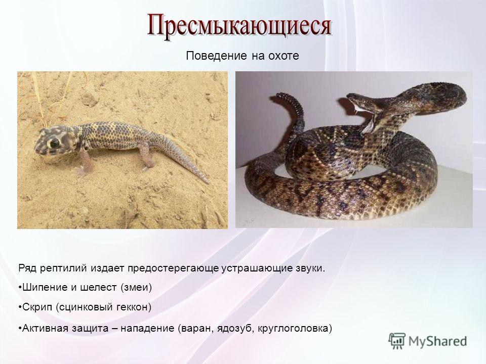 Ряд рептилий издает предостерегающе устрашающие звуки. Шипение и шелест (змеи) Скрип (сцинковый геккон) Активная защита – нападение (варан, ядозуб, круглоголовка) Поведение на охоте