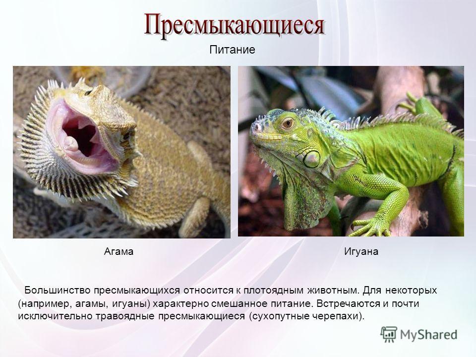 Большинство пресмыкающихся относится к плотоядным животным. Для некоторых (например, агамы, игуаны) характерно смешанное питание. Встречаются и почти исключительно травоядные пресмыкающиеся (сухопутные черепахи). АгамаИгуана Питание