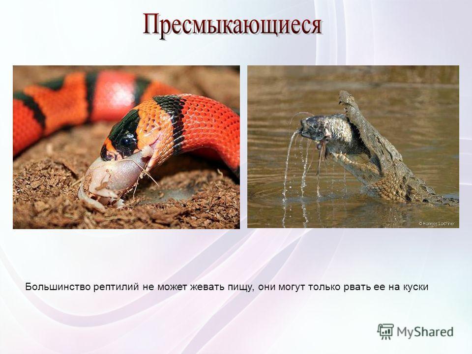 Большинство рептилий не может жевать пищу, они могут только рвать ее на куски
