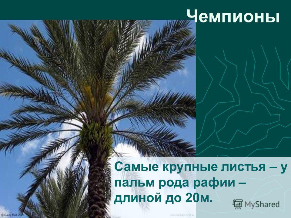 Самые крупные листья – у пальм рода рафии – длиной до 20м. Чемпионы