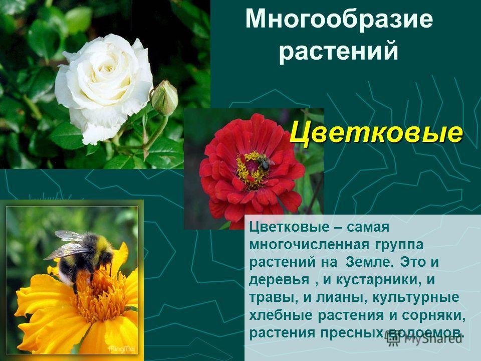 Цветковые – самая многочисленная группа растений на Земле. Это и деревья, и кустарники, и травы, и лианы, культурные хлебные растения и сорняки, растения пресных водоемов. Многообразие растенийЦветковые