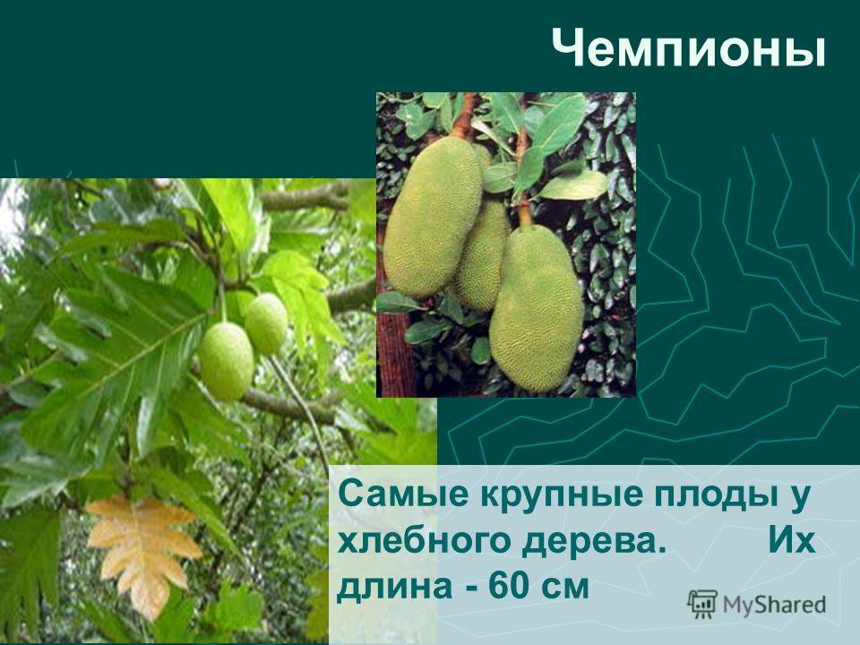 Самые крупные плоды у хлебного дерева.Их длина - 60 см Чемпионы