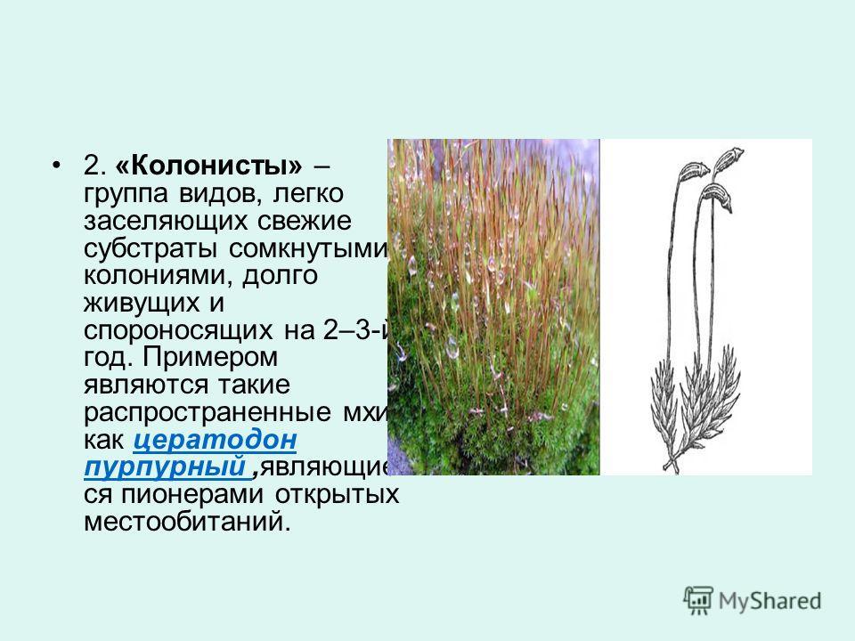 2. «Колонисты» – группа видов, легко заселяющих свежие субстраты сомкнутыми колониями, долго живущих и спороносящих на 2–3-й год. Примером являются такие распространенные мхи, как цератодон пурпурный,являющие ся пионерами открытых местообитаний.церат