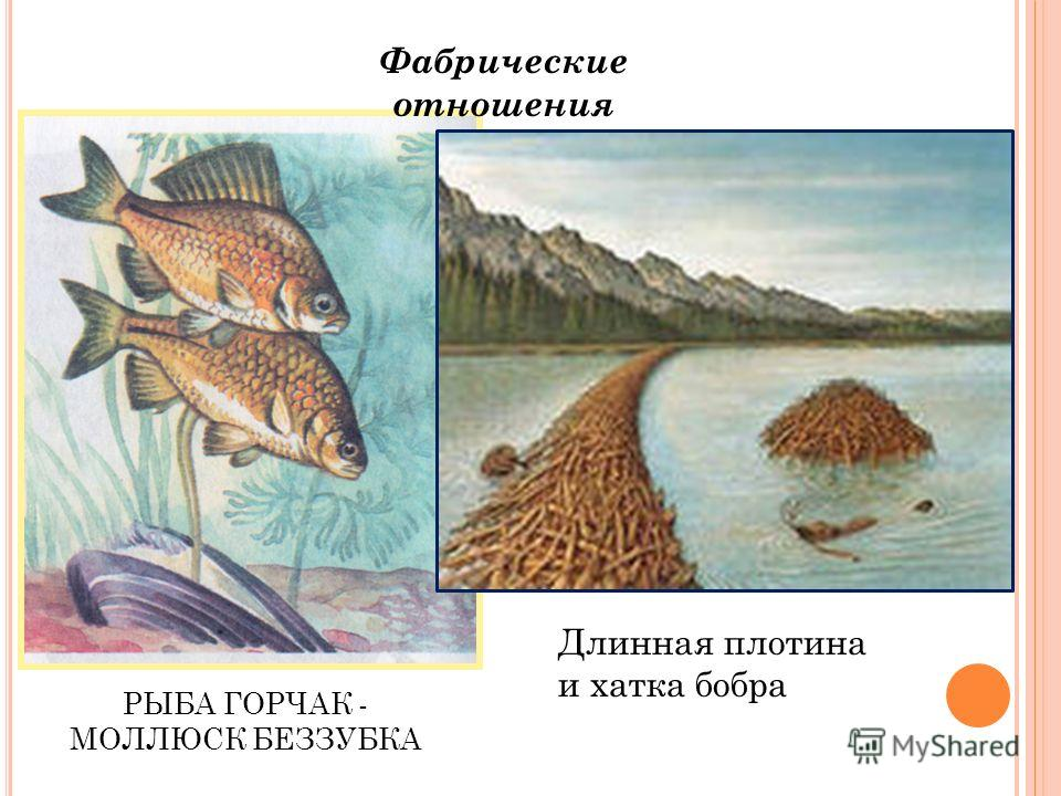 РЫБА ГОРЧАК - МОЛЛЮСК БЕЗЗУБКА Фабрические отношения Длинная плотина и хатка бобра