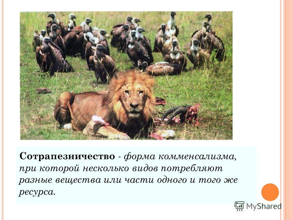 Сотрапезничество - форма комменсализма, при которой несколько видов потребляют разные вещества или части одного и того же ресурса.