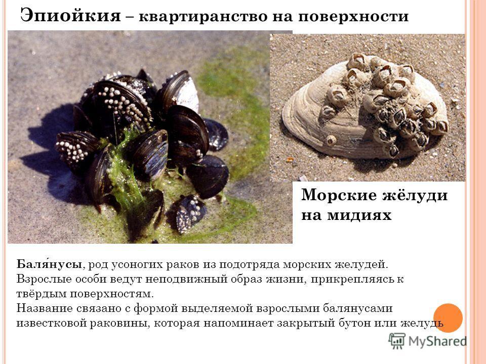 Эпиойкия – квартиранство на поверхности тела Балянусы, род усоногих раков из подотряда морских желудей. Взрослые особи ведут неподвижный образ жизни, прикрепляясь к твёрдым поверхностям. Название связано с формой выделяемой взрослыми балянусами извес