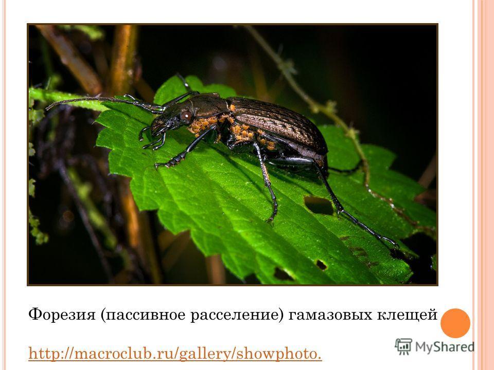 Форезия (пассивное расселение) гамазовых клещей http://macroclub.ru/gallery/showphoto.