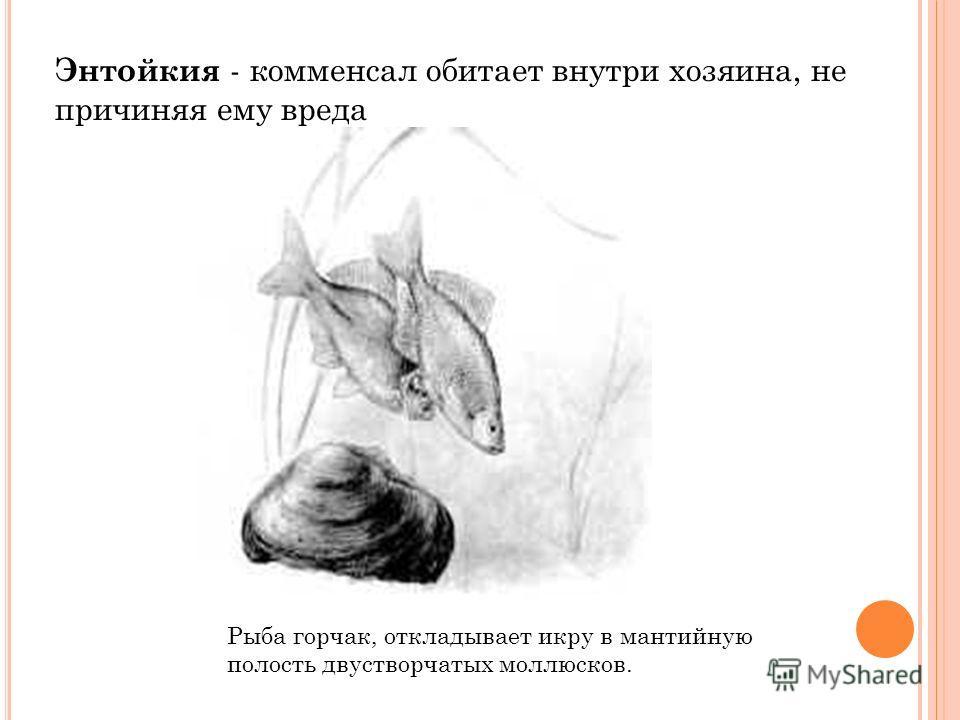 Рыба горчак, откладывает икру в мантийную полость двустворчатых моллюсков. Энтойкия - комменсал обитает внутри хозяина, не причиняя ему вреда