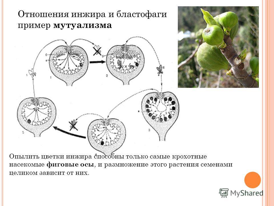 Отношения инжира и бластофаги пример мутуализма Опылить цветки инжира способны только самые крохотные насекомые фиговые осы, и размножение этого растения семенами целиком зависит от них.