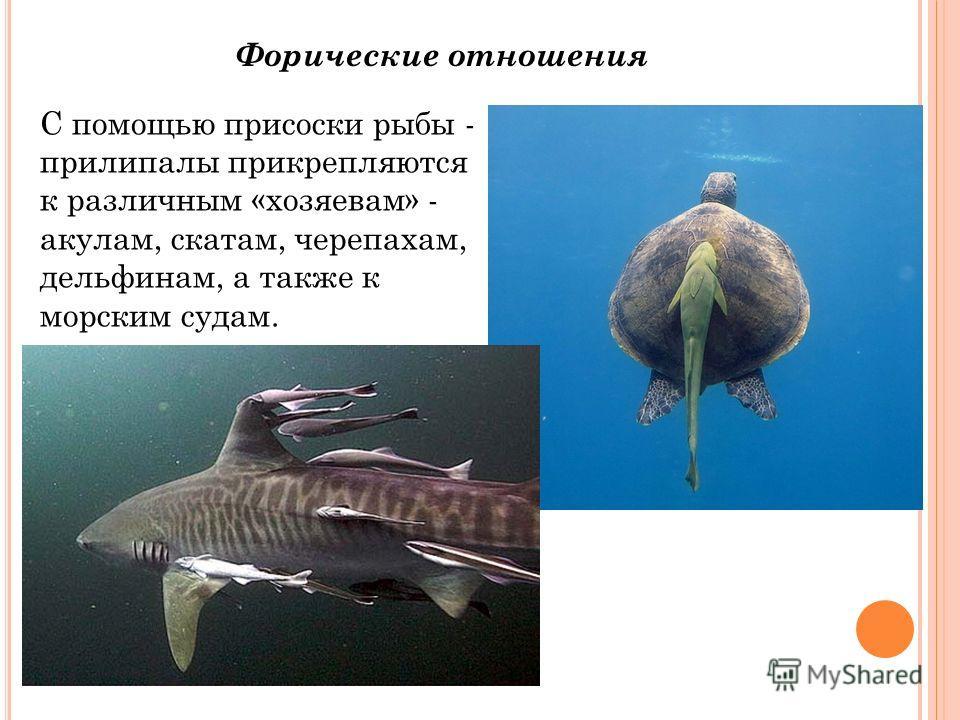 Форические отношения С помощью присоски рыбы - прилипалы прикрепляются к различным «хозяевам» - акулам, скатам, черепахам, дельфинам, а также к морским судам.