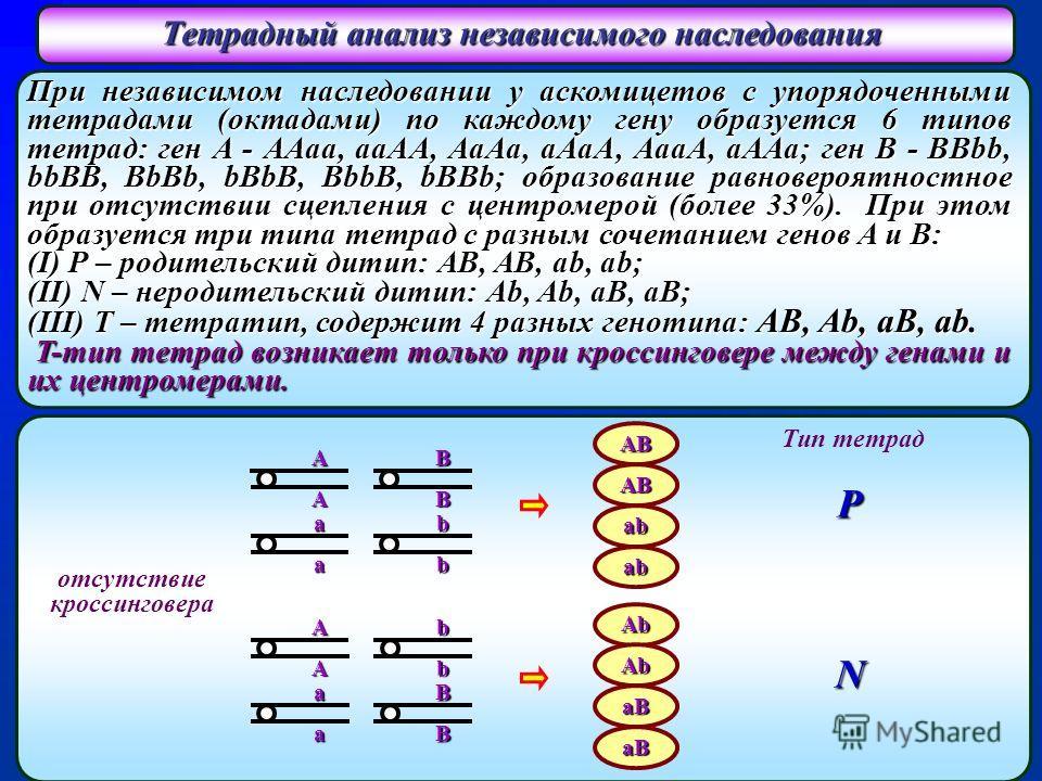 При независимом наследовании у аскомицетов с упорядоченными тетрадами (октадами) по каждому гену образуется 6 типов тетрад: ген A - AAaa, aaAA, AaAa, aAaA, AaaA, aAAa; ген B - BBbb, bbBB, BbBb, bBbB, BbbB, bBBb; образование равновероятностное при отс