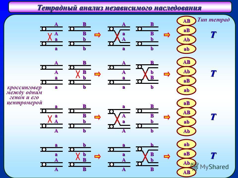 Тетрадный анализ независимого наследования A A a a кроссинговер между одним геном и его центромерой B B b b A A a a B B b bAB aB Ab ab AB Ab aB ab Тип тетрад T T a a A A B B b b a a A A b b B BaB AB ab Ab ab aB Ab ABT T A a A a B B b b A A a a B b B