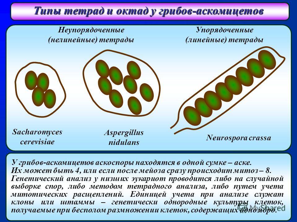 Типы тетрад и октад у грибов-аскомицетов Неупорядоченные (нелинейные) тетрады Упорядоченные (линейные) тетрады Sacharomyces cerevisiae Aspergillus nidulans Neurospora crassa У грибов-аскомицетов аскоспоры находятся в одной сумке – аске. Их может быть
