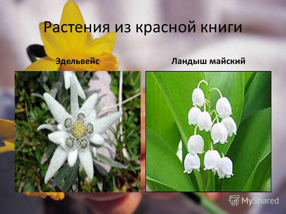 Растения из красной книги ЭдельвейсЛандыш майский