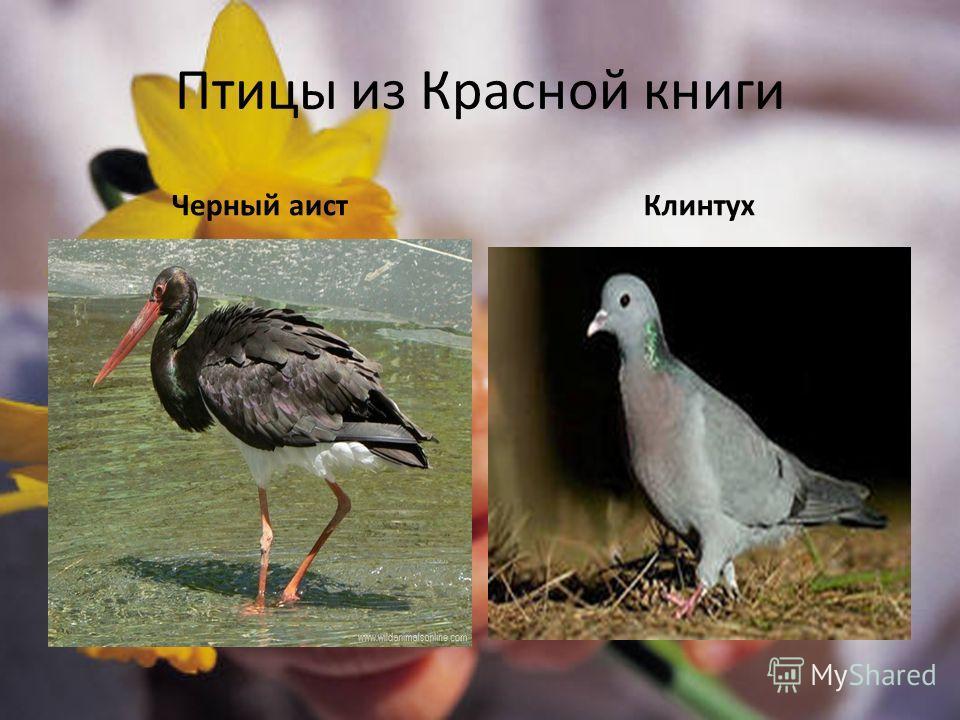 Птицы из Красной книги Черный аистКлинтух