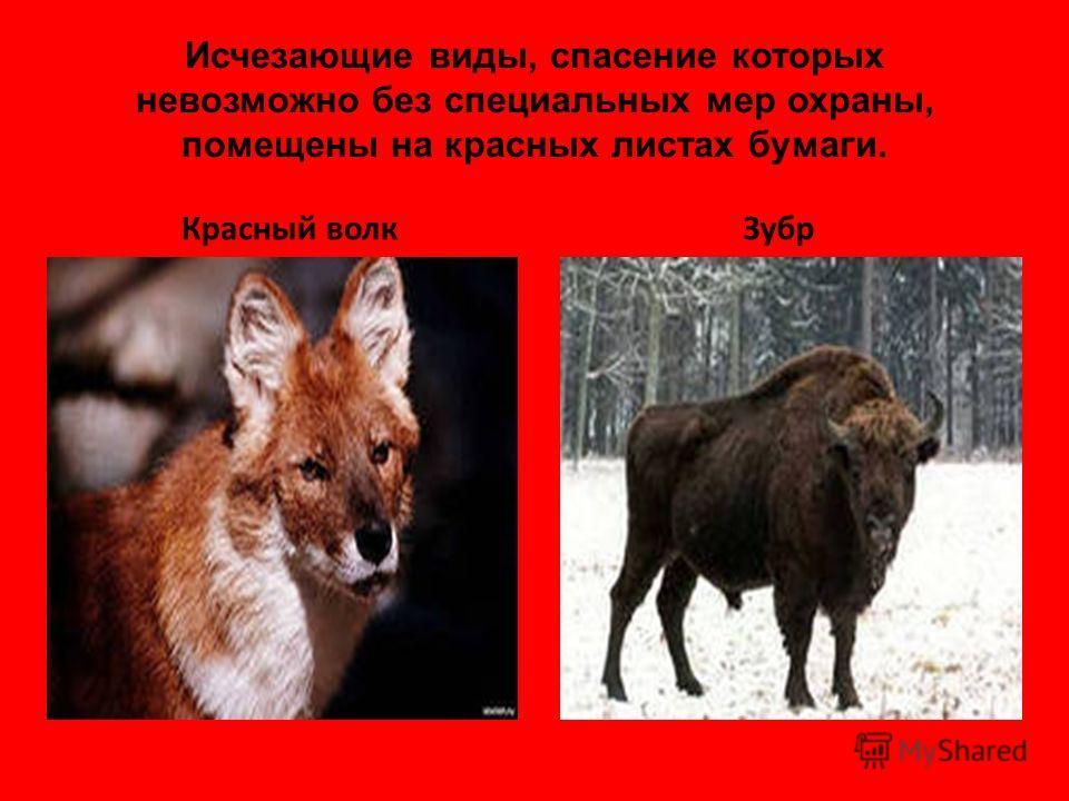 Исчезающие виды, спасение которых невозможно без специальных мер охраны, помещены на красных листах бумаги. Красный волкЗубр