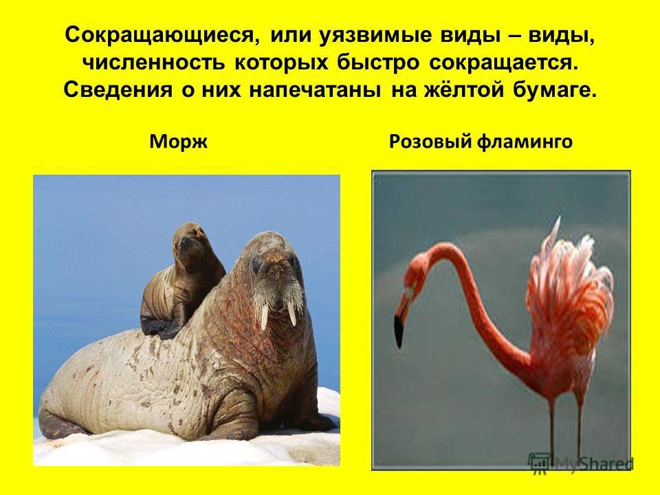 Сокращающиеся, или уязвимые виды – виды, численность которых быстро сокращается. Сведения о них напечатаны на жёлтой бумаге. МоржРозовый фламинго