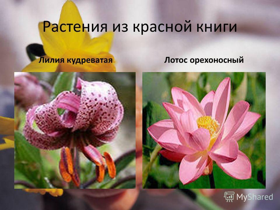 Растения из красной книги Лилия кудреватаяЛотос орехоносный
