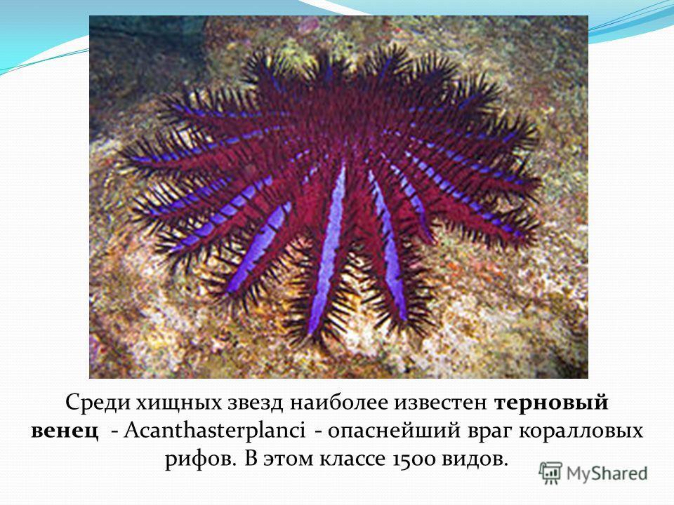 Среди хищных звезд наиболее известен терновый венец - Acanthasterplanci - опаснейший враг коралловых рифов. В этом классе 1500 видов.