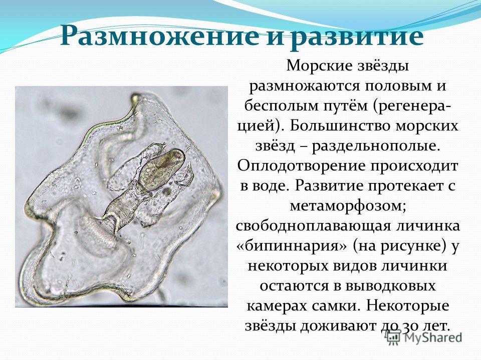 Размножение и развитие Морские звёзды размножаются половым и бесполым путём (регенера- цией). Большинство морских звёзд – раздельнополые. Оплодотворение происходит в воде. Развитие протекает с метаморфозом; свободноплавающая личинка «бипиннария» (на