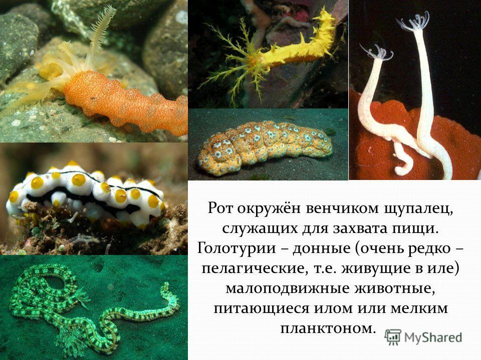 Рот окружён венчиком щупалец, служащих для захвата пищи. Голотурии – донные (очень редко – пелагические, т.е. живущие в иле) малоподвижные животные, питающиеся илом или мелким планктоном.