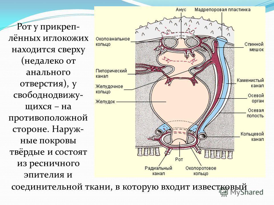 Рот у прикреп- лённых иглокожих находится сверху (недалеко от анального отверстия), у свободнодвижу- щихся – на противоположной стороне. Наруж- ные покровы твёрдые и состоят из ресничного эпителия и соединительной ткани, в которую входит известковый