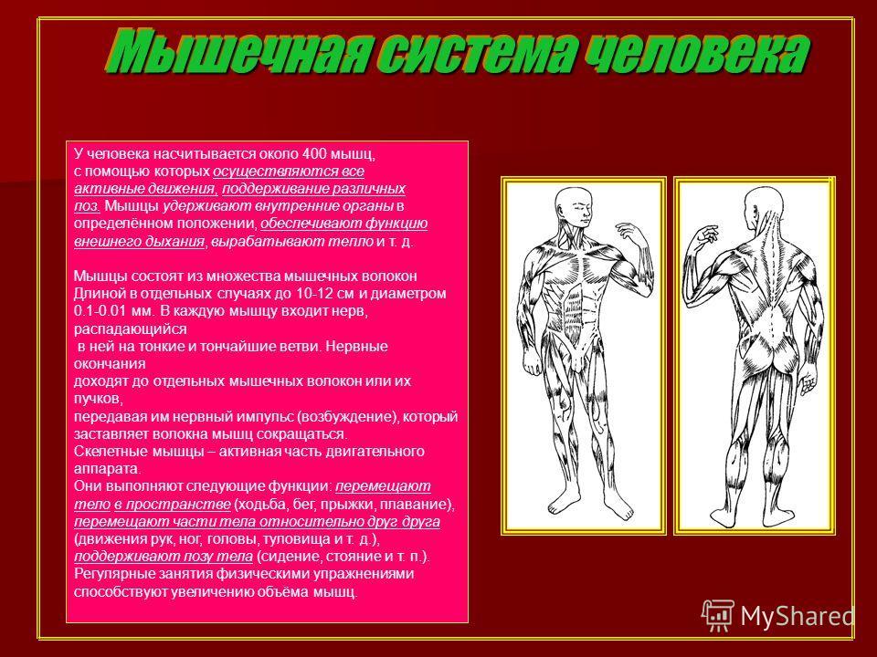 Мышечная система человека У человека насчитывается около 400 мышц, с помощью которых осуществляются все активные движения, поддерживание различных поз. Мышцы удерживают внутренние органы в определённом положении, обеспечивают функцию внешнего дыхания