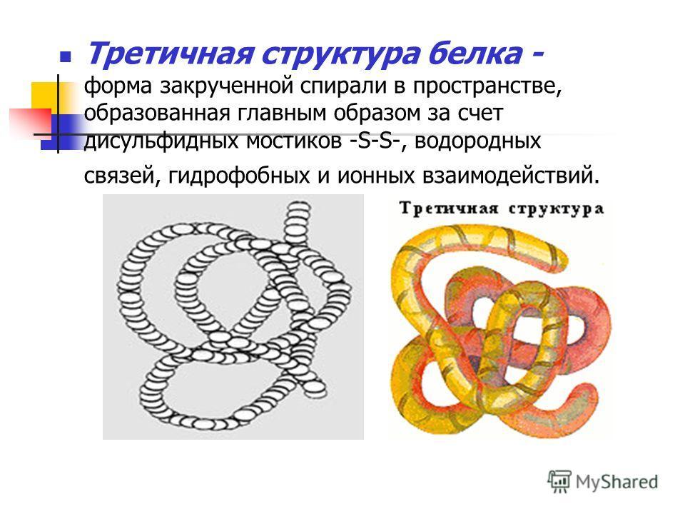 Третичная структура белка - форма закрученной спирали в пространстве, образованная главным образом за счет дисульфидных мостиков -S-S-, водородных связей, гидрофобных и ионных взаимодействий.