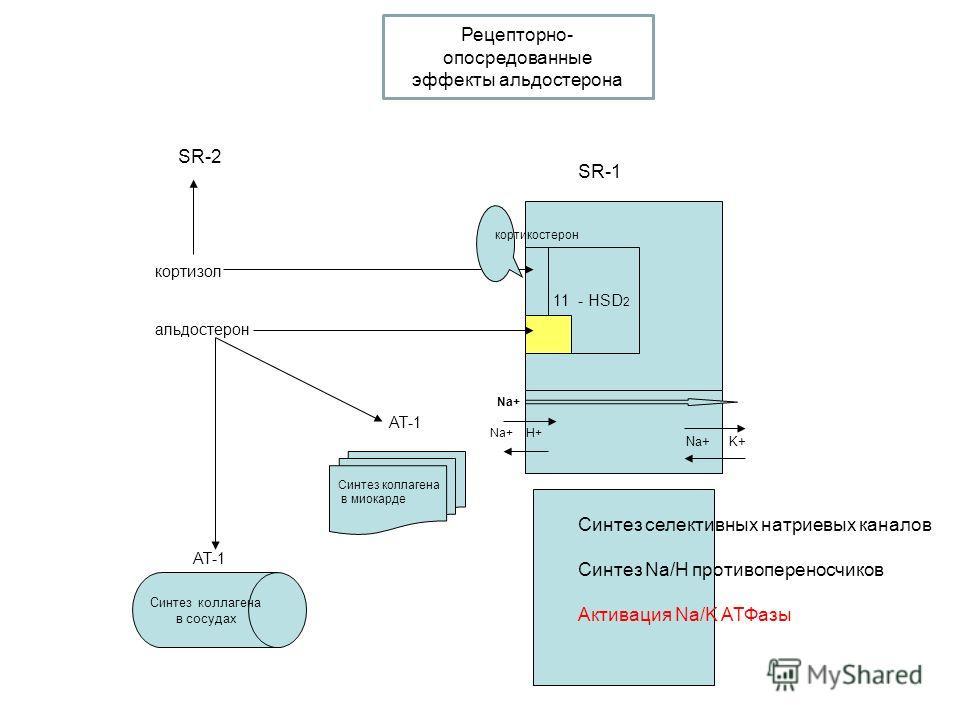 11 - HSD 2 SR-1 Na+ Na+ H+ Na+ K+ Синтез селективных натриевых каналов Синтез Na/H противопереносчиков Активация Na/K АТФазы кортизол альдостерон SR-2 кортикостерон Синтез коллагена в сосудах АТ-1 Синтез коллагена в миокарде АТ-1 Рецепторно- опосредо