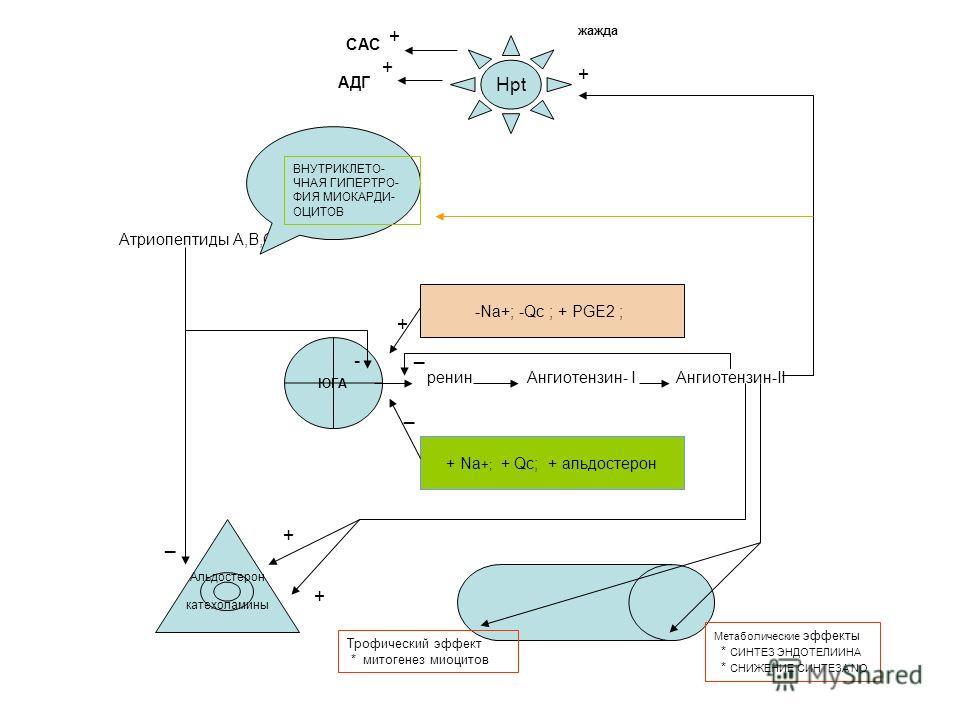 ЮГА ренин Ангиотензин- I Ангиотензин-II Hpt Альдостерон катехоламины -Na+; -Qc ; + PGE2 ; + Na +; + Qc; + альдостерон Атриопептиды А,В,С + _ - _ ВНУТРИКЛЕТО- ЧНАЯ ГИПЕРТРО- ФИЯ МИОКАРДИ- ОЦИТОВ САС + АДГ + + _ + + Метаболические эффекты * СИНТЕЗ ЭНДО