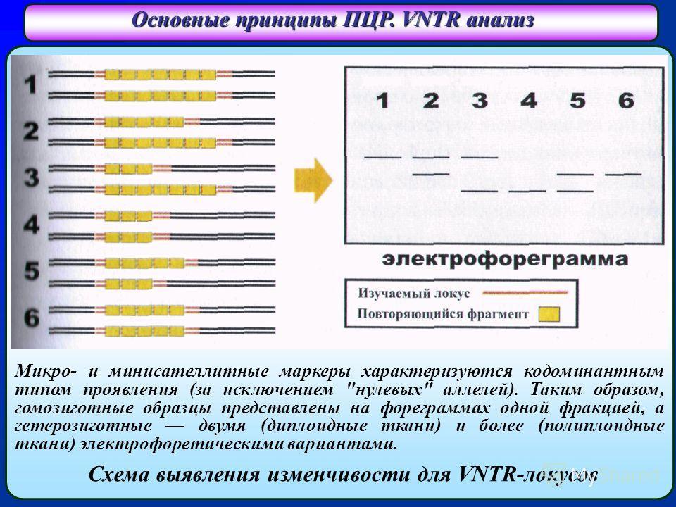 Основные принципы ПЦР. VNTR анализ Схема выявления изменчивости для VNTR-локусов Микро- и минисателлитные маркеры характеризуются кодоминантным типом проявления (за исключением