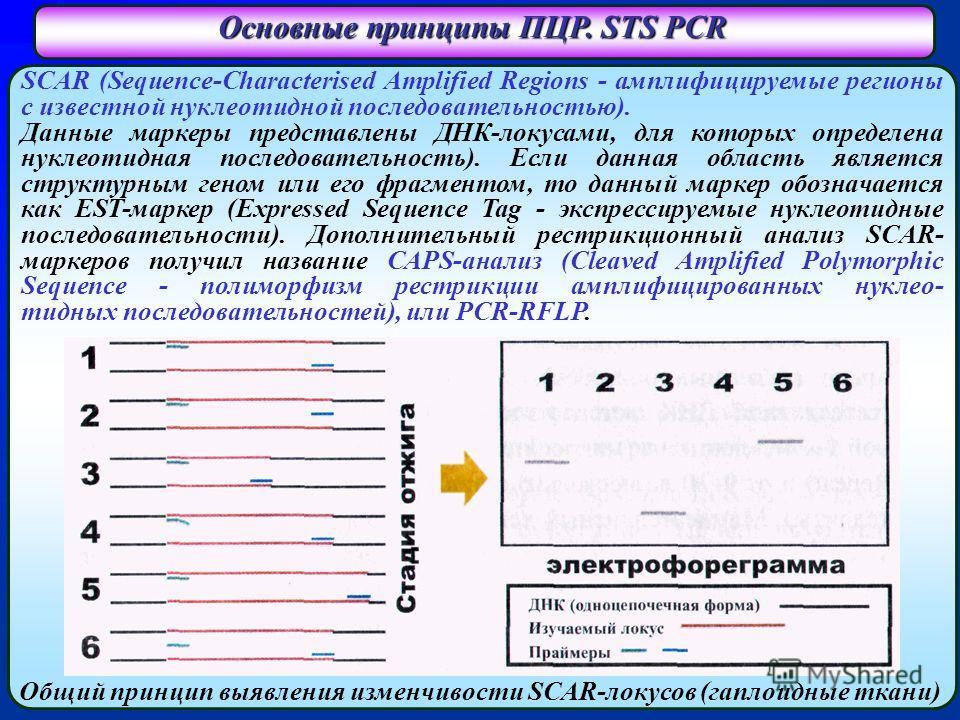 Основные принципы ПЦР. STS PCR SCAR (Sequence-Characterised Amplified Regions - амплифицируемые регионы с известной нуклеотидной последовательностью). Данные маркеры представлены ДНК-локусами, для которых определена нуклеотидная последовательность).