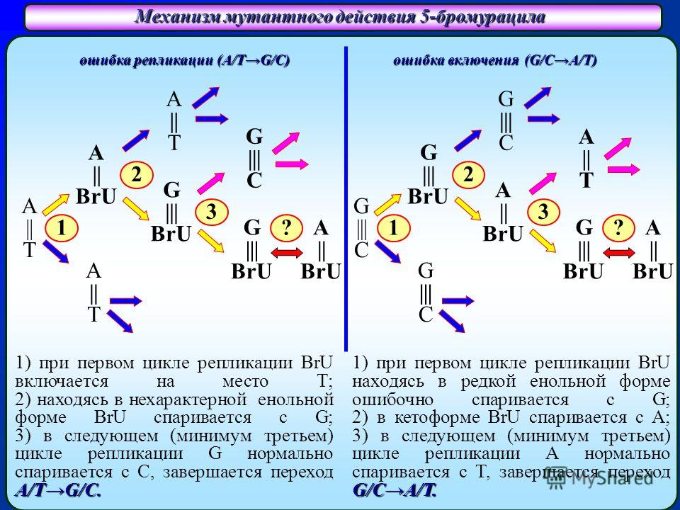 Механизм мутантного действия 5-бромурацила ошибка включения (G/CA/T) ошибка репликации (A/TG/C) A || T A || BrU A || T A || T G ||| BrU G ||| C G ||| BrU A || BrU 1 2 3 ? G ||| C G ||| BrU G ||| C G ||| C A || BrU A || T G ||| BrU A || BrU 1 2 3 ? A/