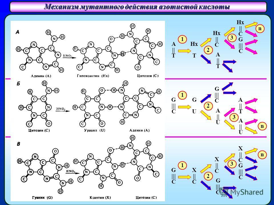 Механизм мутантного действия азотистой кислоты Спаривание гипоксантина (Hx) с цитозином (C) Спаривание урацила (U) с аденином (A) Спаривание ксантина (X) с цитозином (C) A (аденин) А (аденин) G (гуанин) X (ксантин) C (цитозин) U (урацил) C (цитозин)
