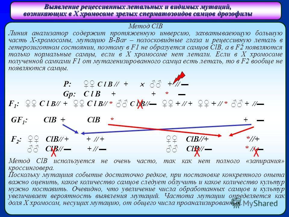 Выявление рецессивнных летальных и видимых мутаций, возникающих в Х хромосоме зрелых сперматозоидов самцов дрозофилы Метод ClB Линия анализатор содержит протяженную инверсию, захватываеющую большую часть Х-хромосомы, мутацию B-Bar – полосковидные гла