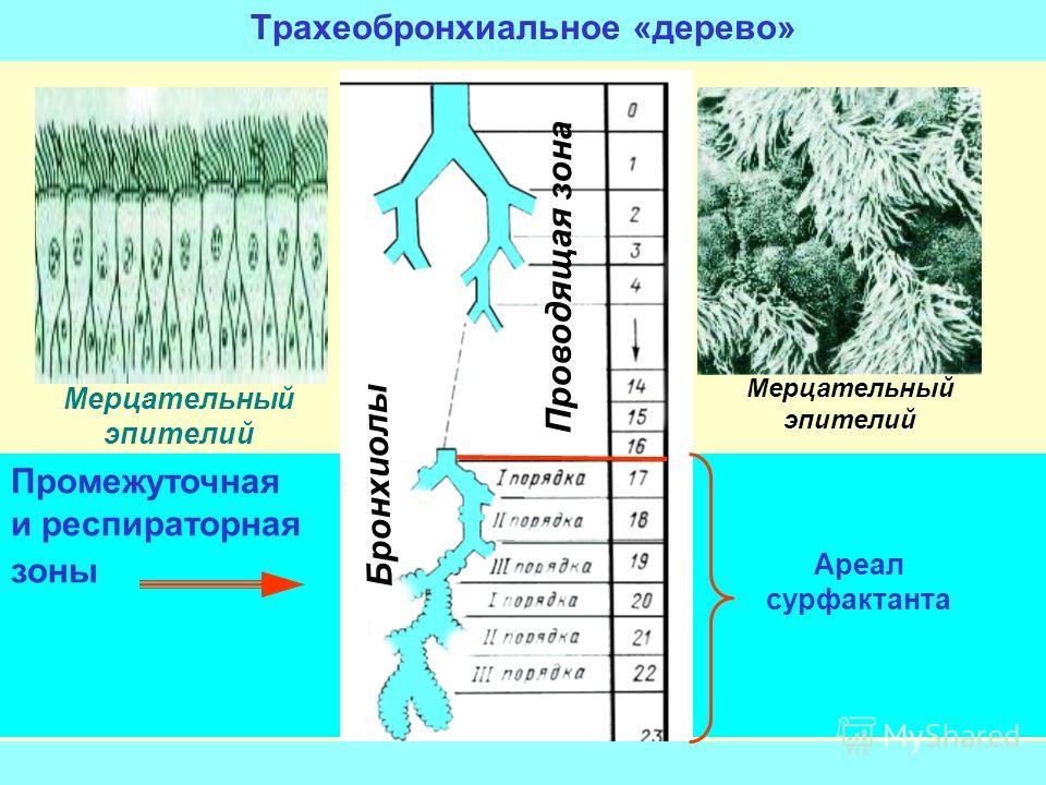 Промежуточная и респираторная зоны Трахеобронхиальное «дерево» Проводящая зона Бронхиолы Мерцательный эпителий Ареал сурфактанта Мерцательный эпителий