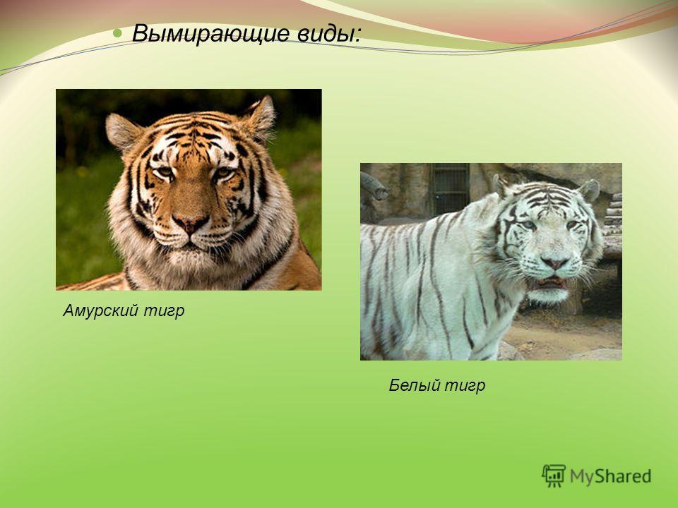 Вымирающие виды: Амурский тигр Белый тигр
